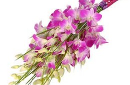 Dendrobium Orchid Spray